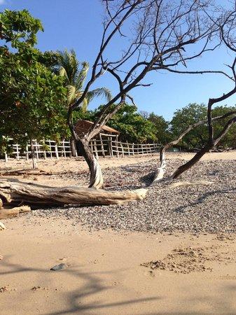 Playa Avellana: Huge trees
