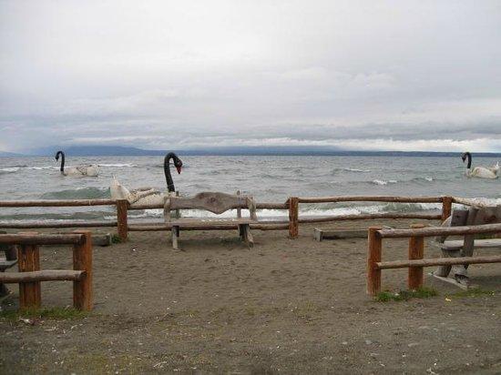 Lago Llanquihue : Cisnes de cuello negro en el Lago