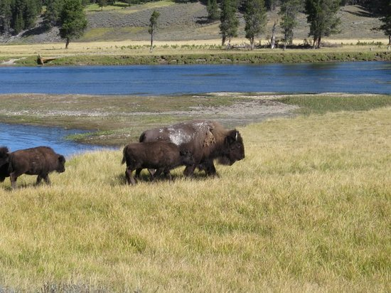 Bison along Yellowstone River