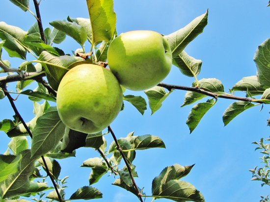 Linvilla Orchards: Golden Delicious