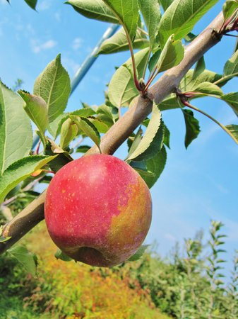 Linvilla Orchards: apple