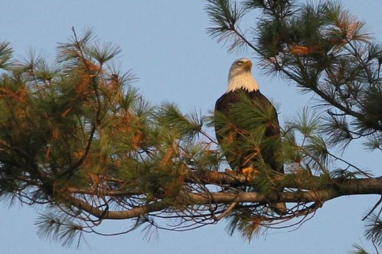 Nature Inn at Bald Eagle: Eagle we saw across the lake