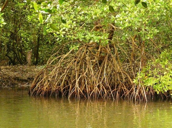 Caroni Bird Sanctuary: Mangrove