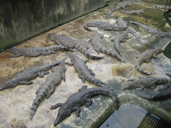 Palawan Wildlife Rescue and Conservation Center: Adult crocodiles