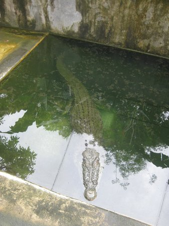 Palawan Wildlife Rescue and Conservation Center: The largest crocodile in the center