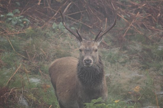 Stag at Eagle Brae