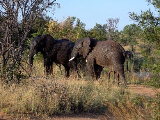Mabula Private Game Reserve, Republika Południowej Afryki: Mabula Game Lodge - Elephants