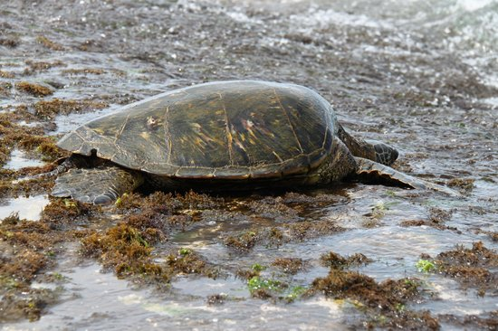 Oahu Spot Tours: A friendly turtle on route