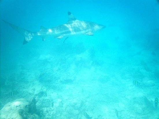 Kuramathi Island Resort: Requin