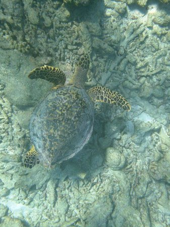 Kuramathi Island Resort: Snorkeling avec une tortue