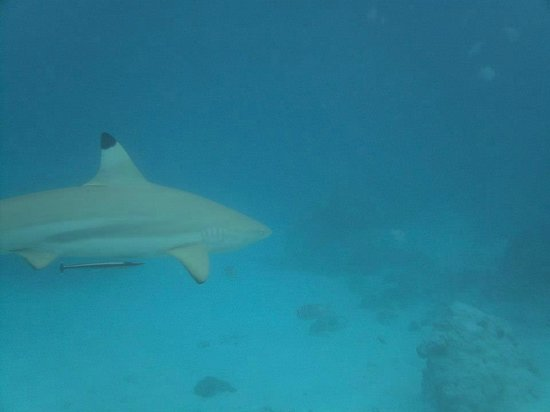 Kuramathi Island Resort: Snorkeling avec les requins