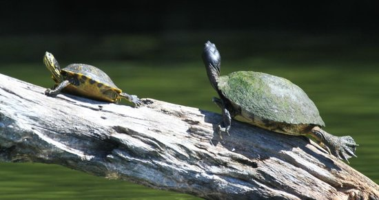 H2O Sports: Turtles sunbathing.