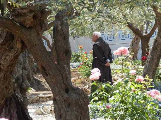 Ancient olive trees in the Garden of Gethsemane Picture of