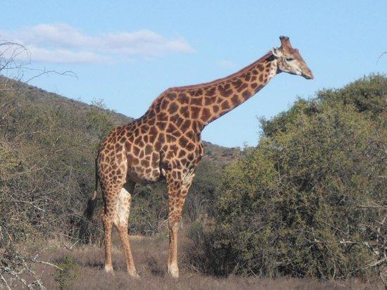 Samara Private Game Reserve: The elegant giraffe