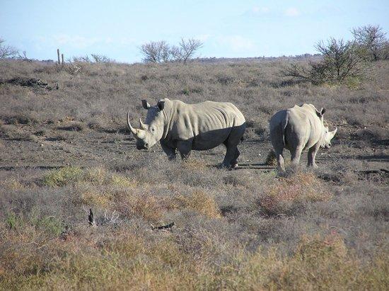 Samara Private Game Reserve: Awesome white rhino
