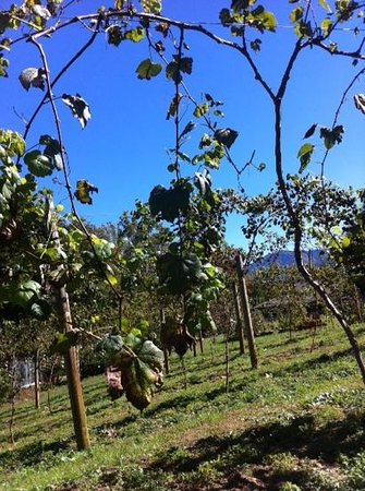 Andrews, Carolina del Norte: the vines