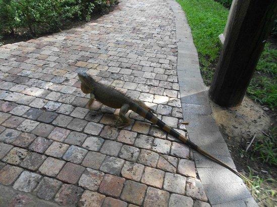Iberostar Cozumel: tem muitas iguanas por lá.