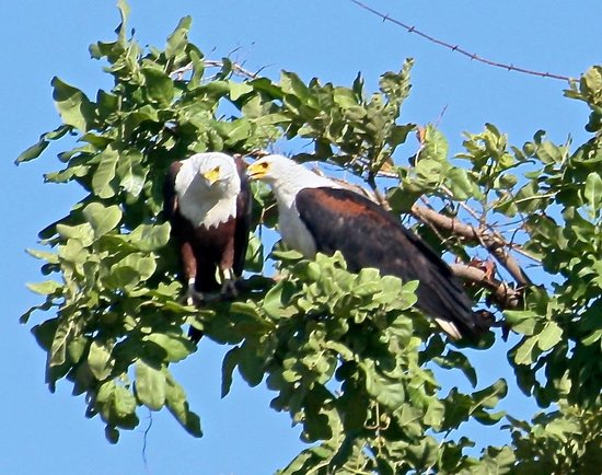Kuyenda Bushcamp - The Bushcamp Company: A pair of fish eagles