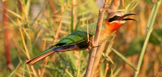 Kuyenda Bushcamp - The Bushcamp Company: White fonrted bee eater