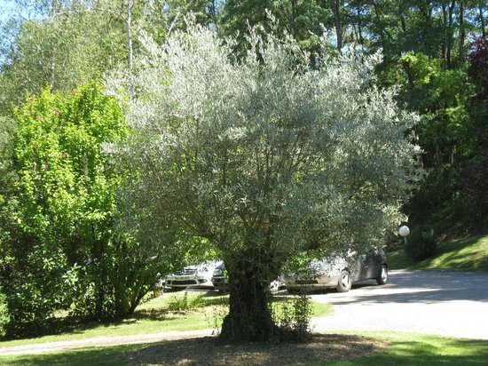 Les Gorges de l'Aveyron : Olive Tree