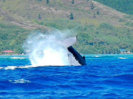 Dr. Poole's Dolphin and Whale Tour: Humpback whale 400metres from the reef