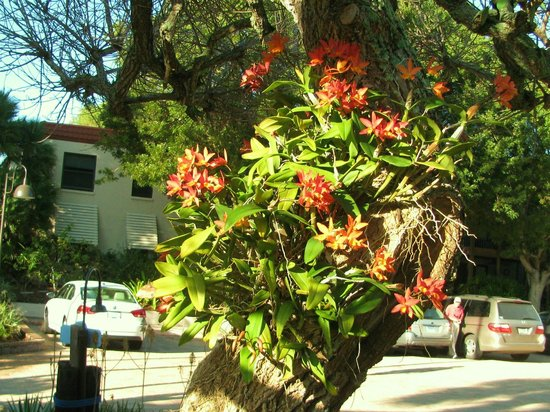 Sanibel Moorings Botanical Gardens : Orchids at Sanibel Mooring