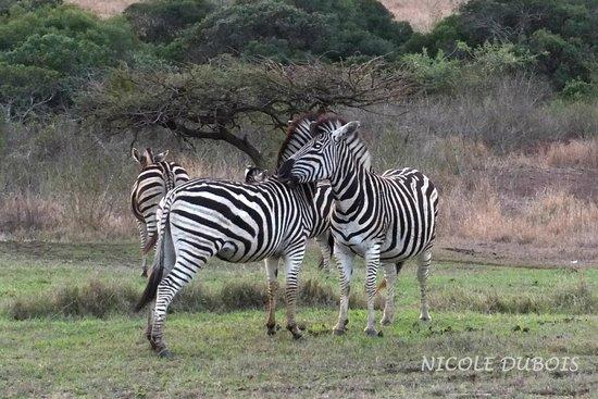 Zulu Nyala Heritage Safari Lodge: Zèbres à proximité immédiate du lodge