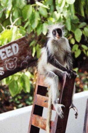 Red Monkey Beach Lodge: Red Colobus Monkey