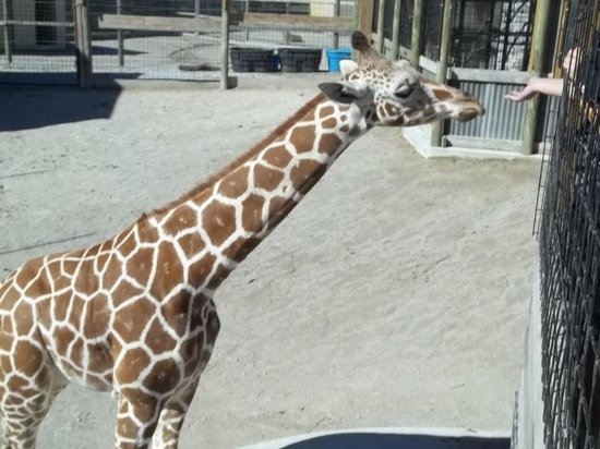 Kalahari Resorts & Conventions: feeding the giraffe
