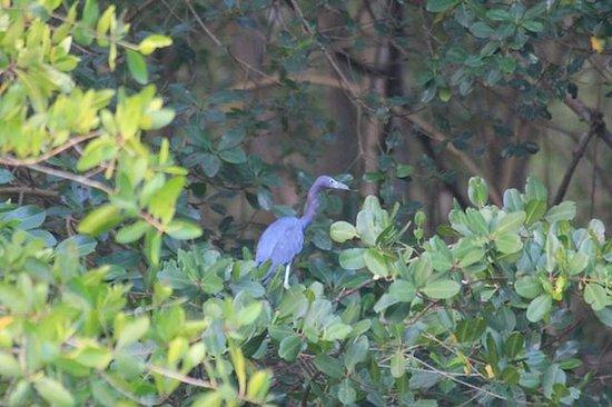 Caroni Lagoon National Park: Blue heron
