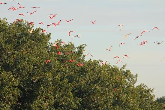 Caroni Lagoon National Park: Flocks