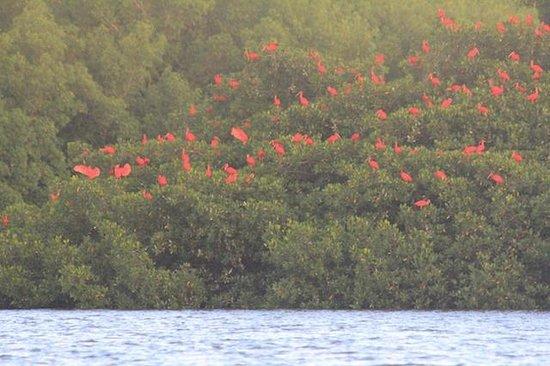 Caroni Lagoon National Park: Scarlet ibis