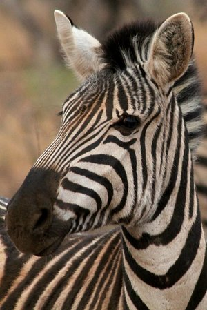 The Bush House: Zebra seen on game drive