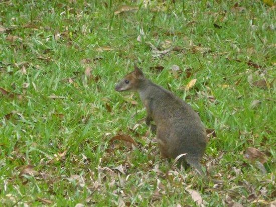 Kuranda Rainforest Accommodation Park: A visitor padymelon