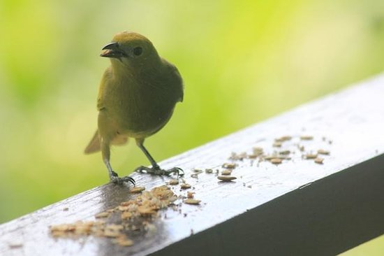 Sealevel Guesthouse : Palm Tanager