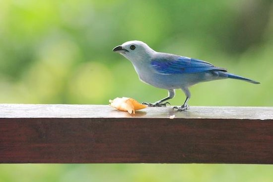 Sealevel Guesthouse : Blue Grey Tanager