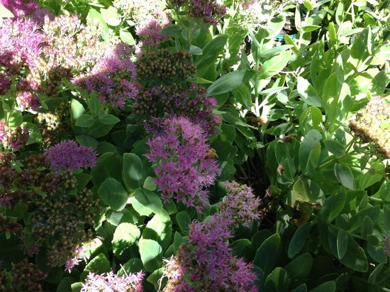 Yelton Manor Bed and Breakfast: Sedum in flower