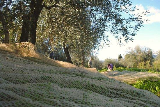 I Moricci: Olive trees