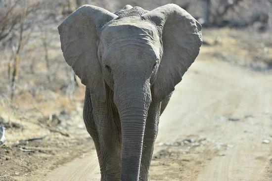 Tambuti Lodge : Elephant