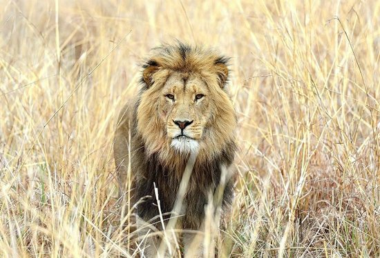 Lions Valley Lodge: Lion