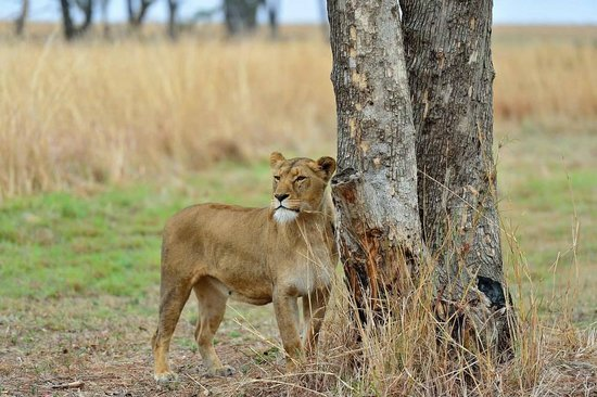 Lions Valley Lodge: Lioness