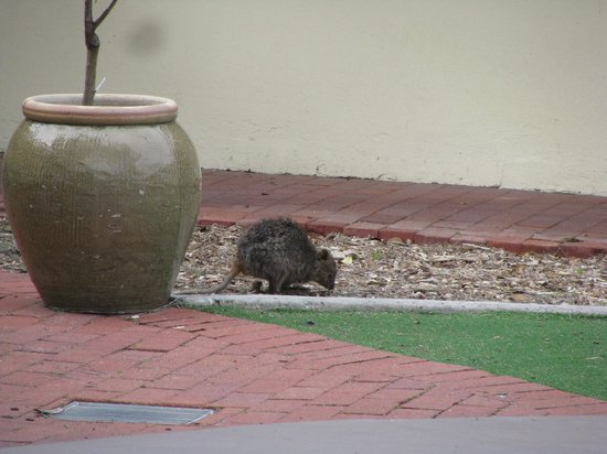 Rottnest Lodge: Friendly visitors
