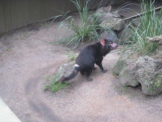 Maru Koala and Animal Park: tasmania devil