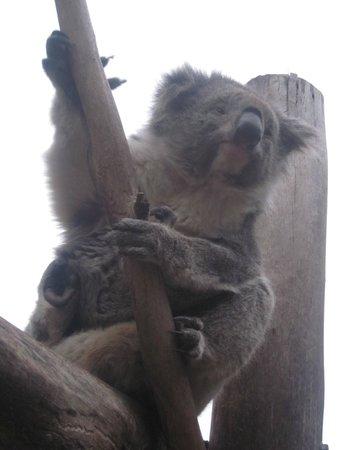 Maru Koala and Animal Park: koalas