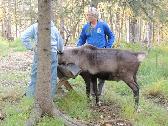 أجات إن: reindeer