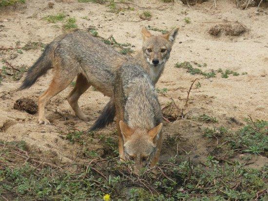 Kulu Safaris Sri Lanka: Jackal