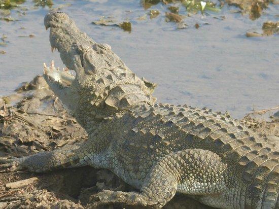 Kulu Safaris Sri Lanka: crocodile