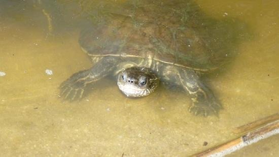 Filia Studios & Apartments: Terry the Terrapin - of the Troulos beach Terrapins