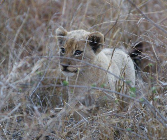 Gomo Gomo Game Lodge: Lion cub