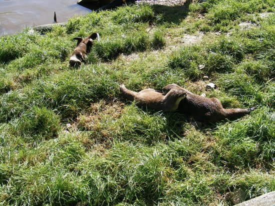 Tamar Otter and Wildlife Centre: Otters at play